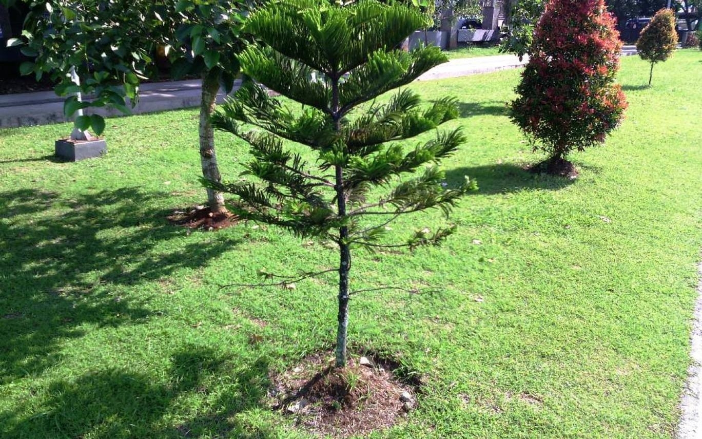 Types Of Dwarf Pine Trees For Landscaping Randolph Indoor And